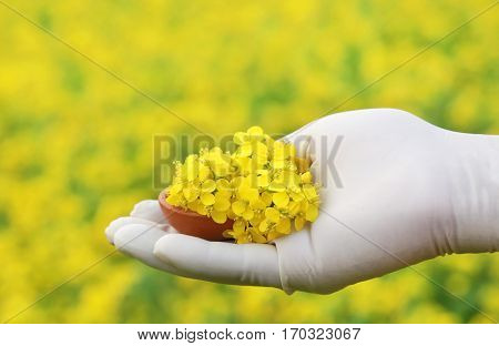 Hand holding pottery full of mustard flowers outdoor