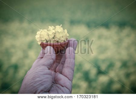 Hand holding a pottery full of organic mustard flowers outdoor