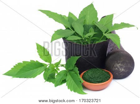 Leaves of medicinal Vitex Negundo in mortar with pestle