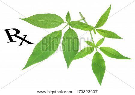 Prescribed medicinal Vitex negundo as herbal medicine over white