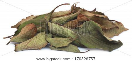 Dry holy basil or tulsi leaves over white background
