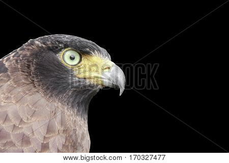 Falcon Peregrine or eagle on black background and clipping path