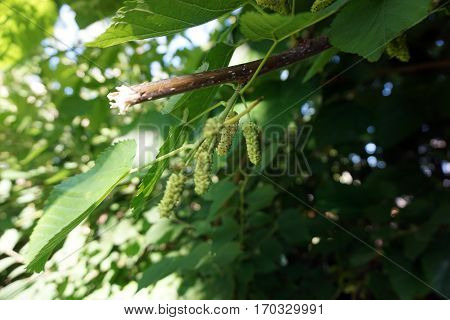 Mulberries ripen on an Illinois everbearing mullberry tree (Morus alba x Morus rubra) during June in a garden in Joliet, Illinois.