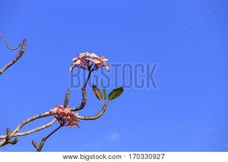plumeria flower pink or desert rose beautiful tree on sky background ( Common name Apocynaceae Frangipani Pagoda Temple )