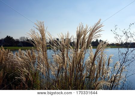 Chinese silver grass (Miscanthus sinensis) stands tall in front of a small, man-made lake in Joliet, Illinois during November.