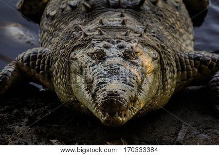 A big and scary kayman looking menacingly