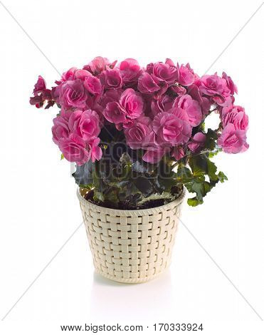 pink begonia in pot isolated on white background