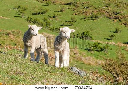 Two, Cute, Wooly Lambs. Queenstown New Zealand