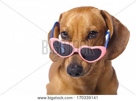 dachshund puppy in glasses