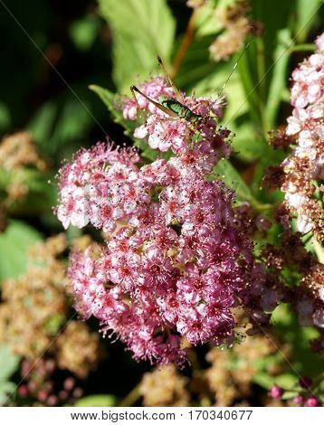 A young grasshopper climbs on the inflorescence of a Japanese spiraea (Spiraea japonica) plant blooming in a back-yard garden in Joliet, Illinois during June.