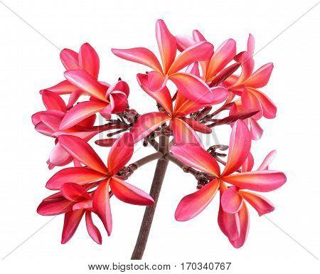 Frangipani Flower Isolated On The White Background