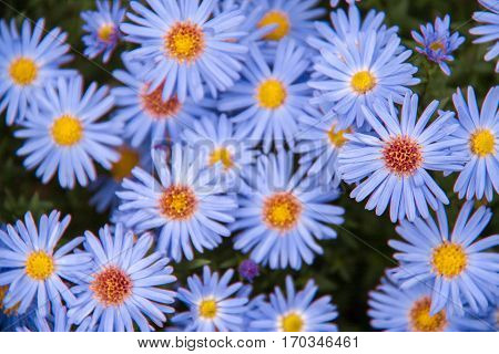 Autumn perennial aster blue on a green background.