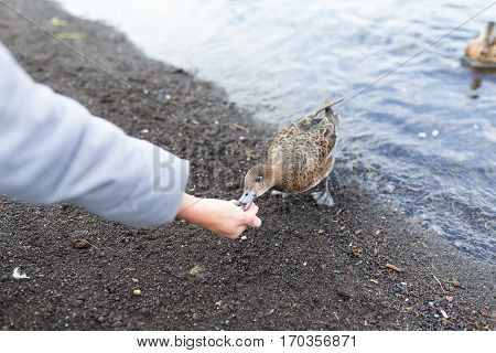 Feeding duck at lake side