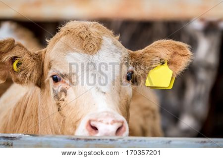 Cow standing in the paddock in farm looking into the frame close-up