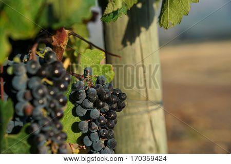 Closeup of red grapes, Stellenbosch vineyard