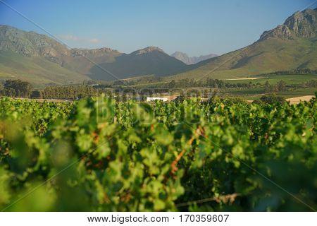 View of Stellenbosch vineyards, South Africa