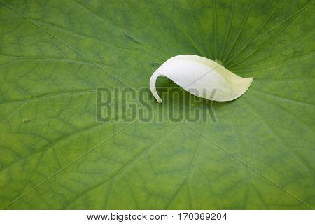 White lotus flower petal on a green leaf
