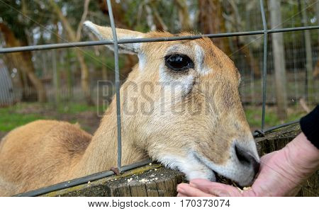 Deer being hand fed through a fence.