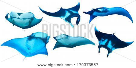Manta Ray isolated. Manta rays on white background