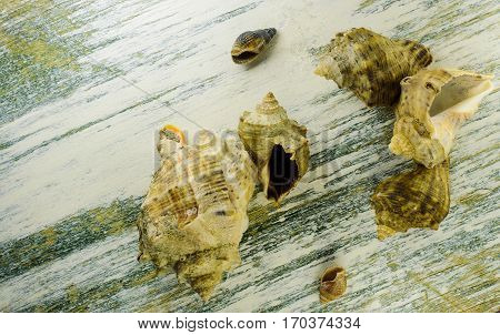Seven sea shells on old painted board.