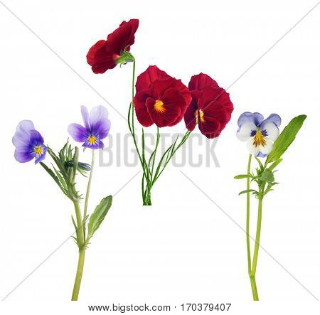 pansy flowers collection isolated on white background