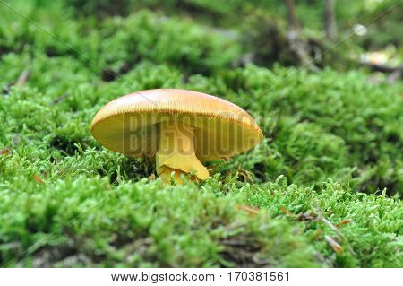 Bottom view on Caesar's mushroom (Amanita caesarea) grows in moss in the forest