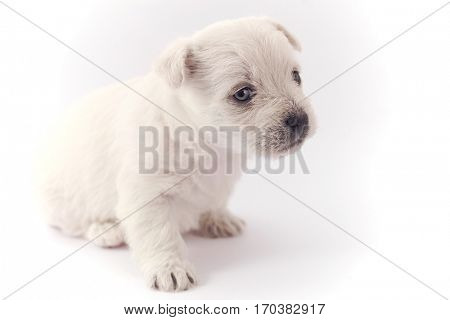Little puppy sitting isolated over white background