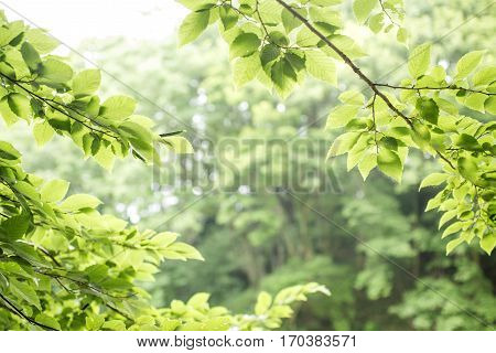 Fresh green carpinus tschonoskii branches in front of forest