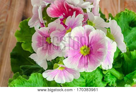 Primula Obconica Touch Me, Pink With White Flowers, Green Leaves, Close Up, Wood Background