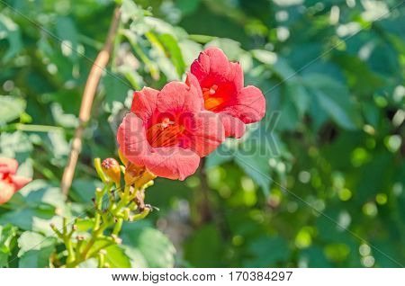 Red, Orange Campsis Radicans Flowers, Trumpet Vine Or Trumpet Creeper, Also Known As Cow Itch Vine,