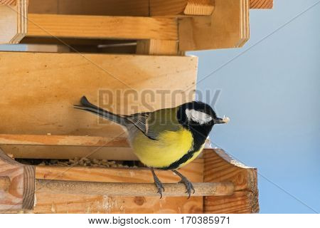 Cute little Great tit bird in yellow and black color perching on wooden bird feeder with seeds during winter in Europe (Parus major)