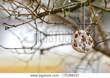 Homemade bird feeder, coconut fat cookie with nut, raisin hanging on tree in winter, Austria, Europe