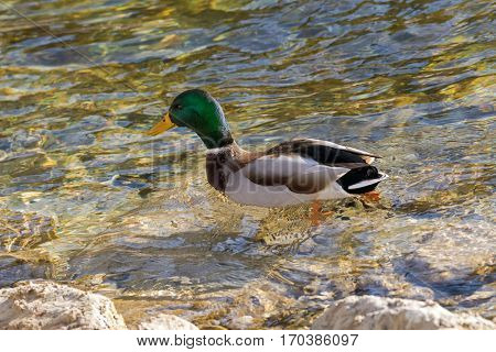 Male mallard, mottled wild duck, with glossy green head, brown speckled plumage swimming on lake during winter in Europe (Anas fulvigula)