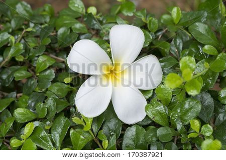 White and yellow Frangipani flower is on green leafs Background