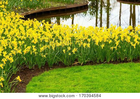 Flowerbed with yellow daffodil flowers blooming in keukenhof spring garden and river view