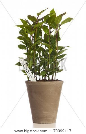 Laurel plant in flower pot with German name tag isolated on white background