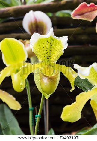 Paphiopedilum callosum is a species of plant in the Orchidaceae family