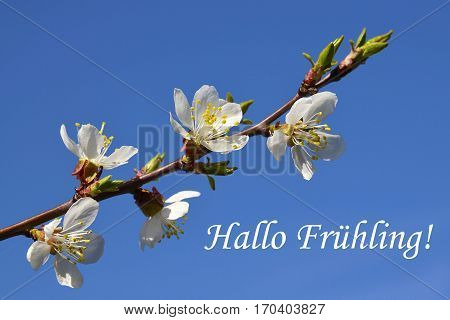 Cherry blossom branch.German text Hallo Fruehling means Hello Spring.Hello Spring concept.Sakura on a blue sky background.Spring flowers.Spring background.
