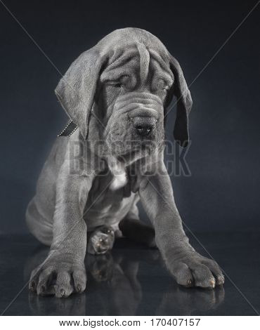 Gray Great Dane puppy with a wrinkled face on a dark background
