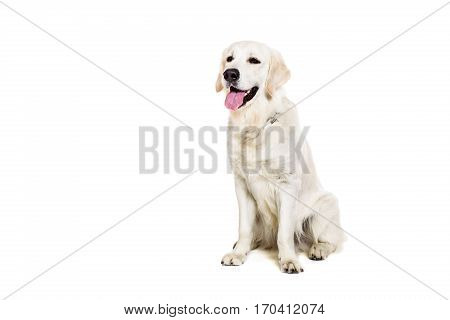 Labrador Retriever on a white background. Labrador sitting. The dog is not looking at the camera