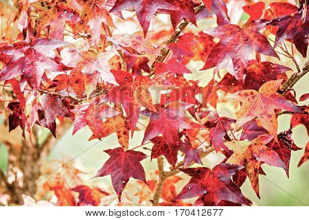 Background group of autumn and orange leaves