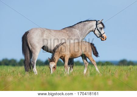 Mare with foal in field. Horses eating grass outside. Two horses grazing in summer.