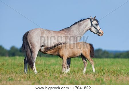 Mare and foal in field. Horses eating grass outside. Two horses grazing in summer.