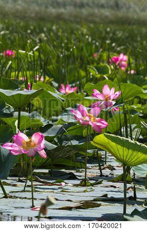 Many of lotus flower. Pink miracle. Volga Delta. Russia.