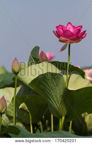 Large lotus flower. Volga river Delta. Russia.