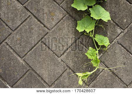 Green pumpkin vine hanging on a concrete wall