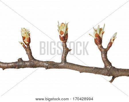 Fruitier Buds At Spring