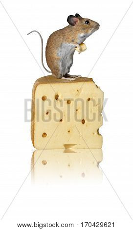 Mouse standing on Cheese isolated against white background