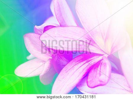 Image branch of tropical flowers frangipani (plumeria),