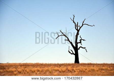 Single dried Tree Standing Alone with dry golden grass on the field.